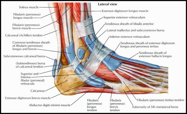 tendon-sheath-of-ankleperoneal-netter1
