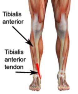 tibialisanteriormuscle